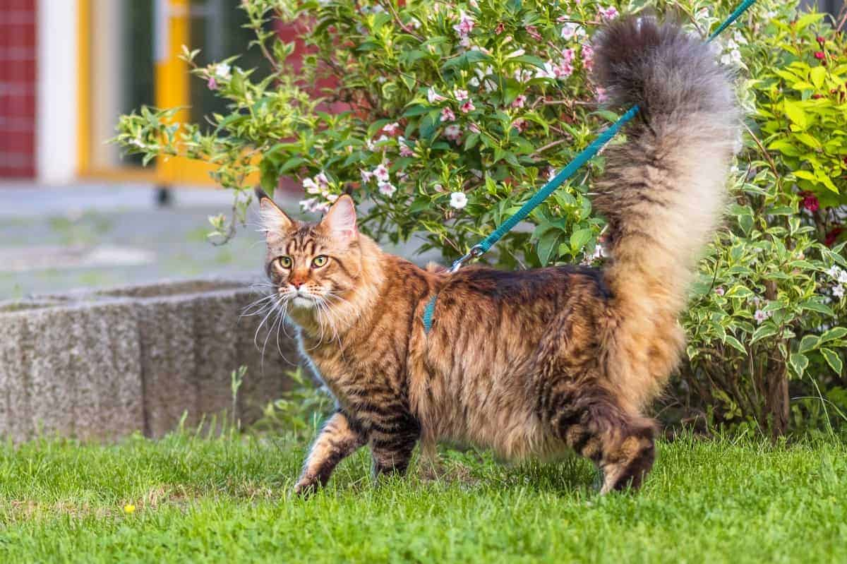 Rescue Maine Coon cat walking outdoor