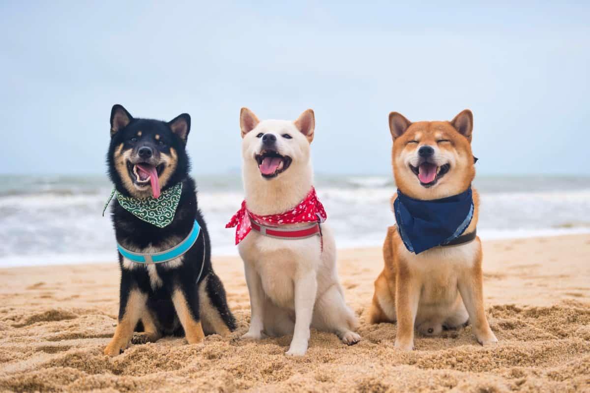 Three Shiba Inu rescues at the beach