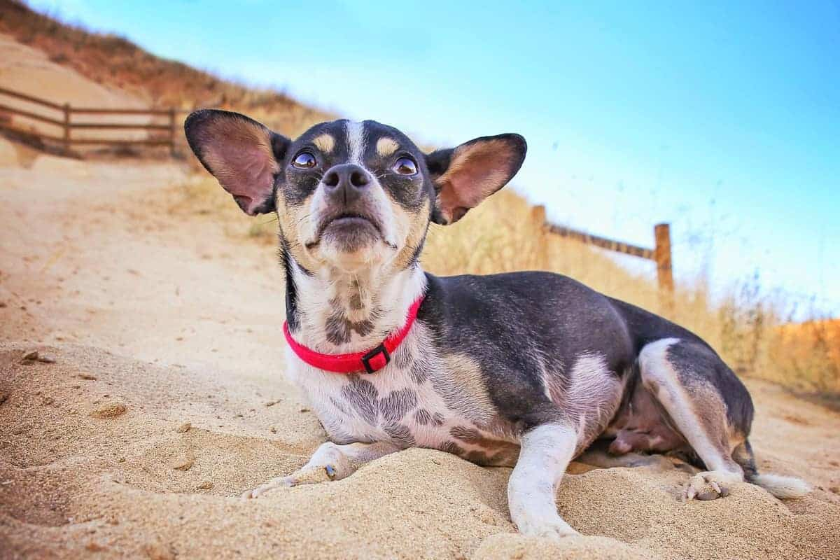 A cute toy Rat Terrier at the top of a hill