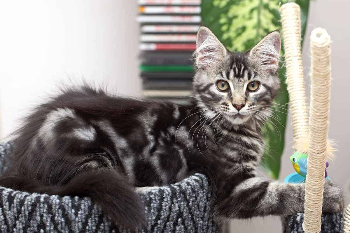 Beautiful black Maine Coon kitten for sale