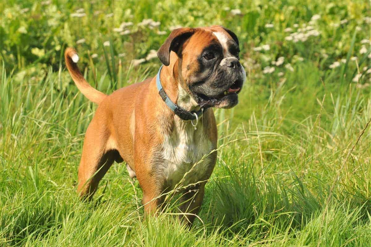 Best Boxer Rescues for Adoption
