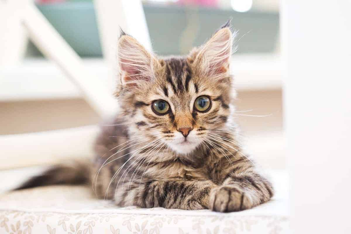 Best Maine Coon Breeders to Find Maine Coon Kittens for Sale
