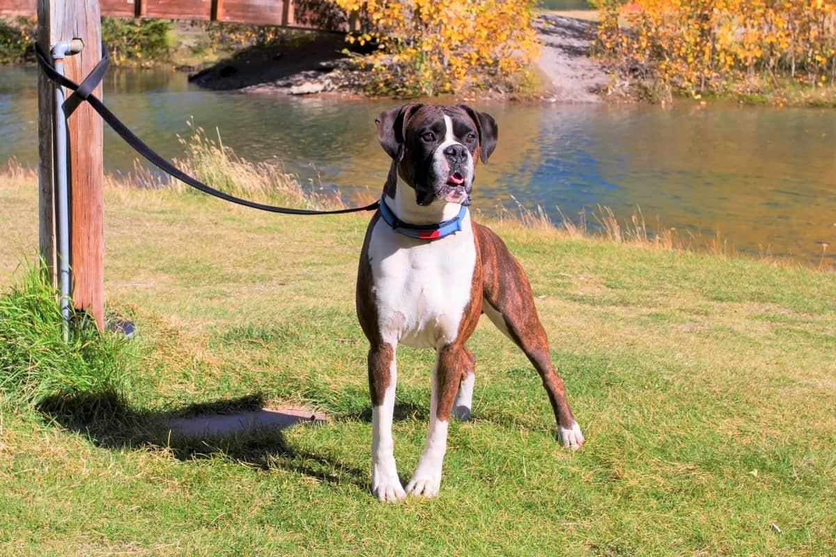 Boxer dog for adoption
