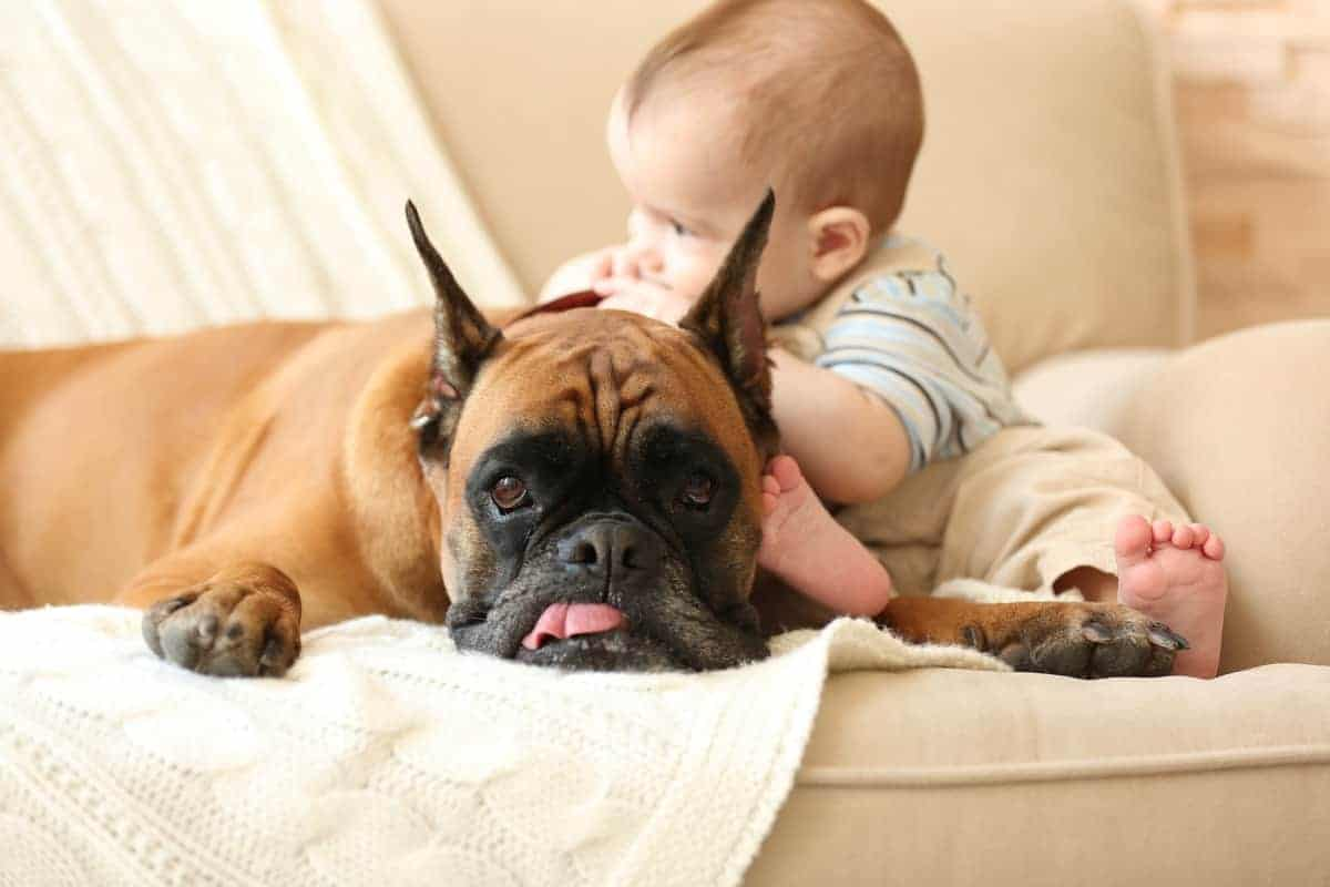 Little baby boy with Boxer dog rescue on a couch at home