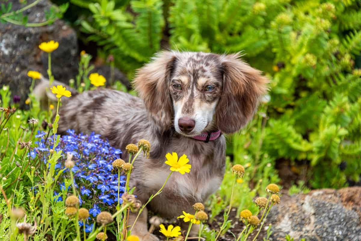 Miniature Dapple Dachshund Doxie puppy