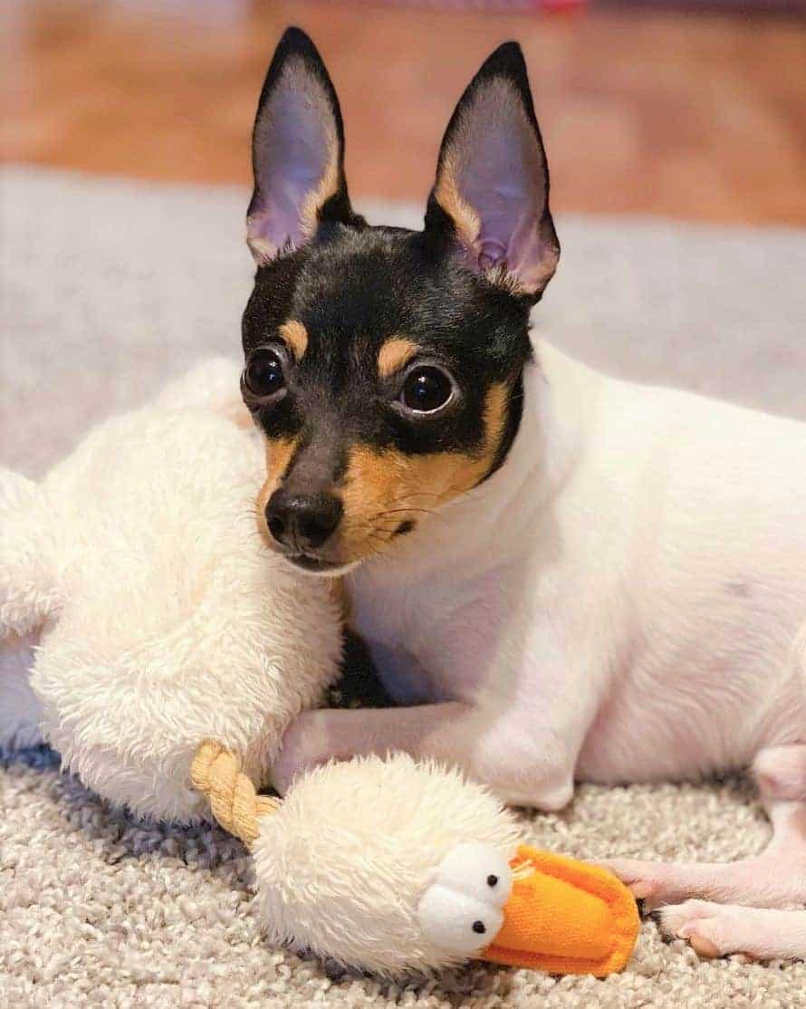 Toy Fox Terrier playing its toy