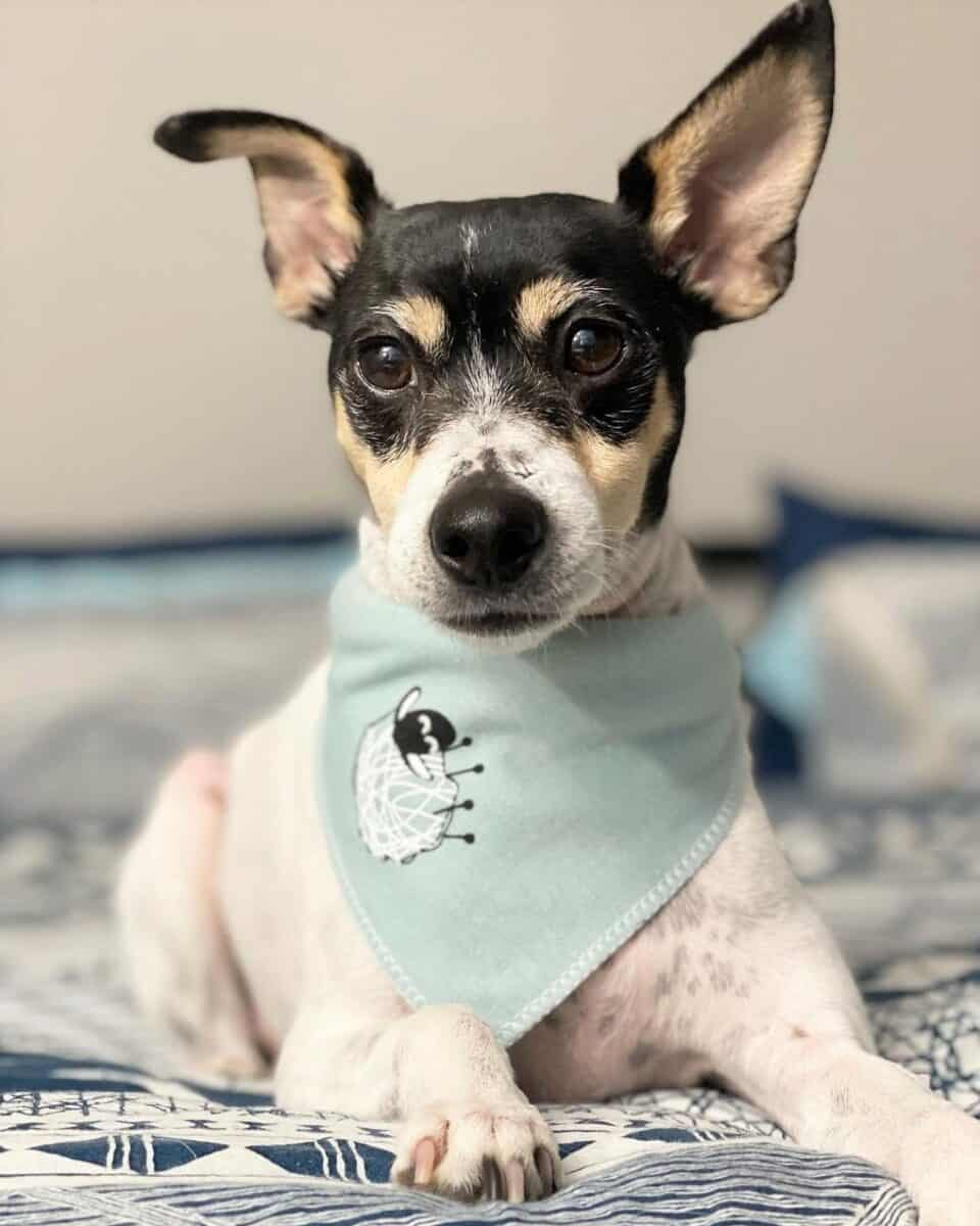 Toy Rat Terrier on a bed