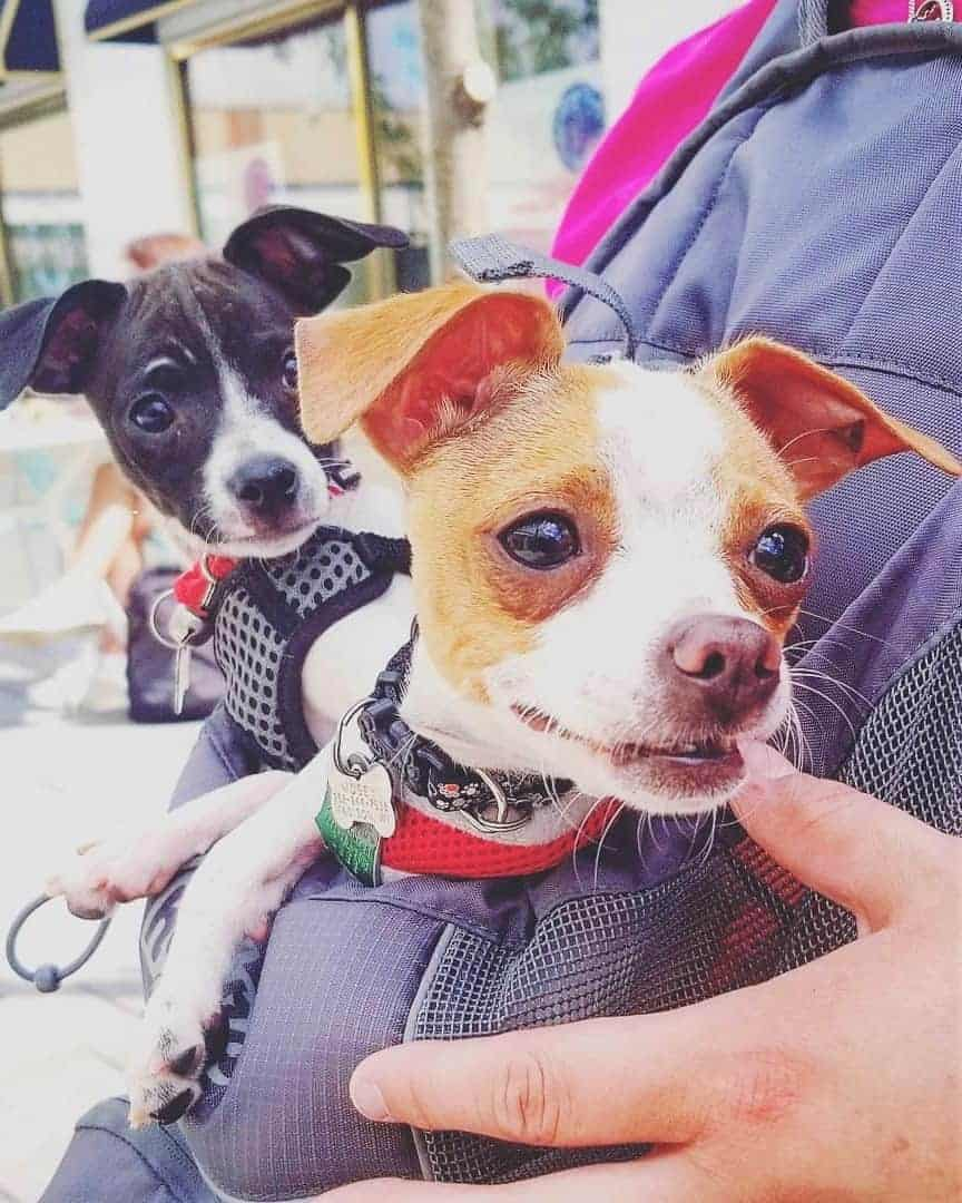 Two toy Rat Terrier puppies from a breeder