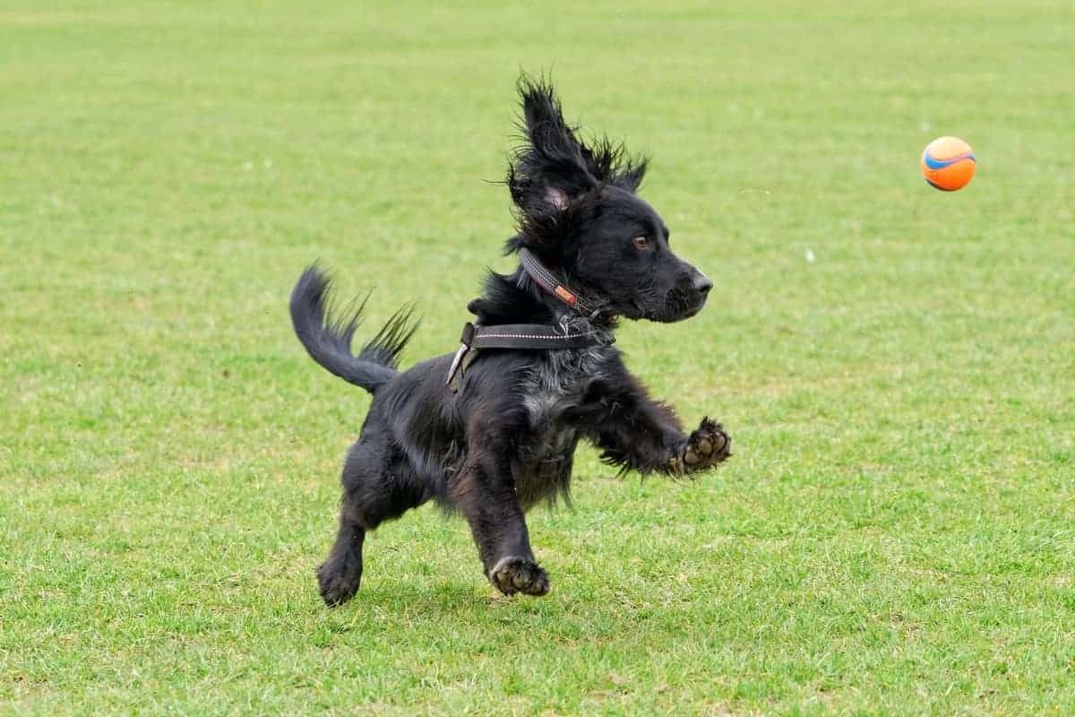 A very fast working black Cocker Spaniel chasing and catching a tennis ball