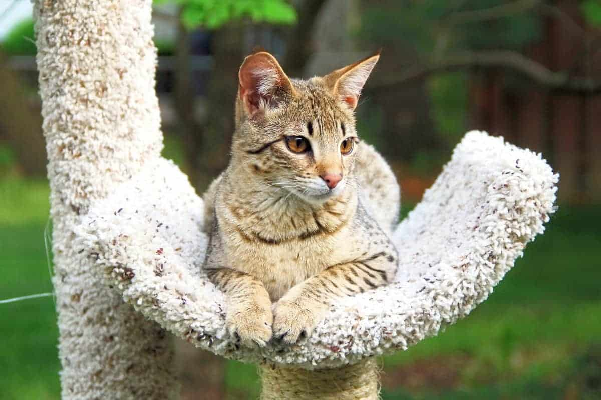 Adult Savannah cat cost