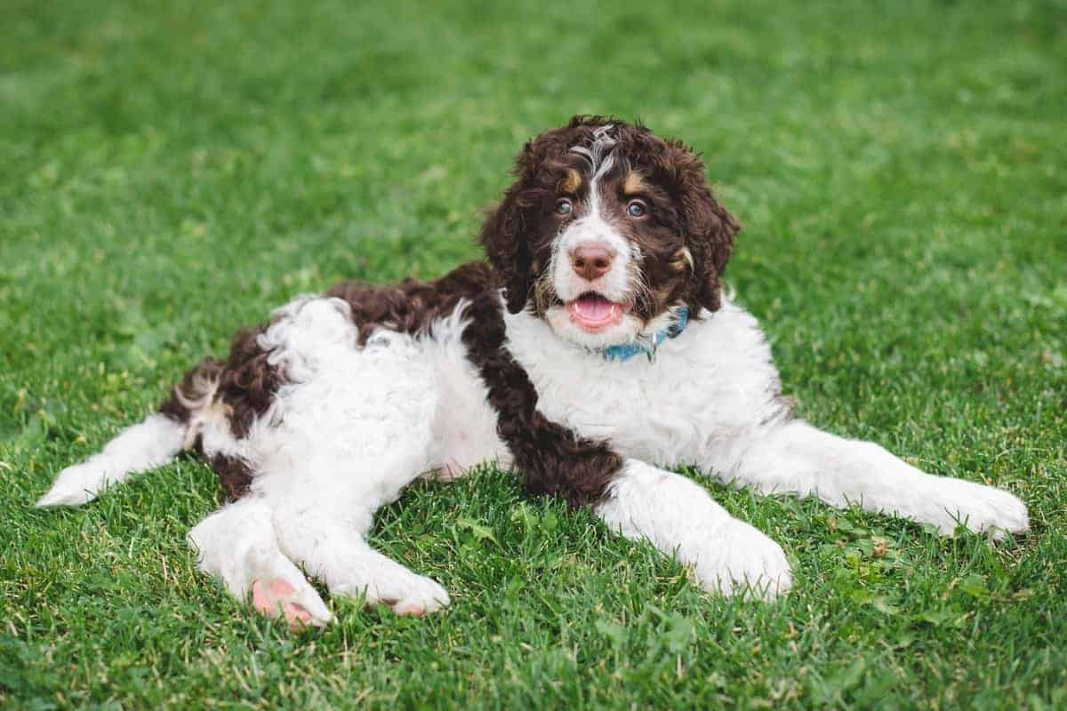 Bernedoodle puppy for adoption lying on the grass