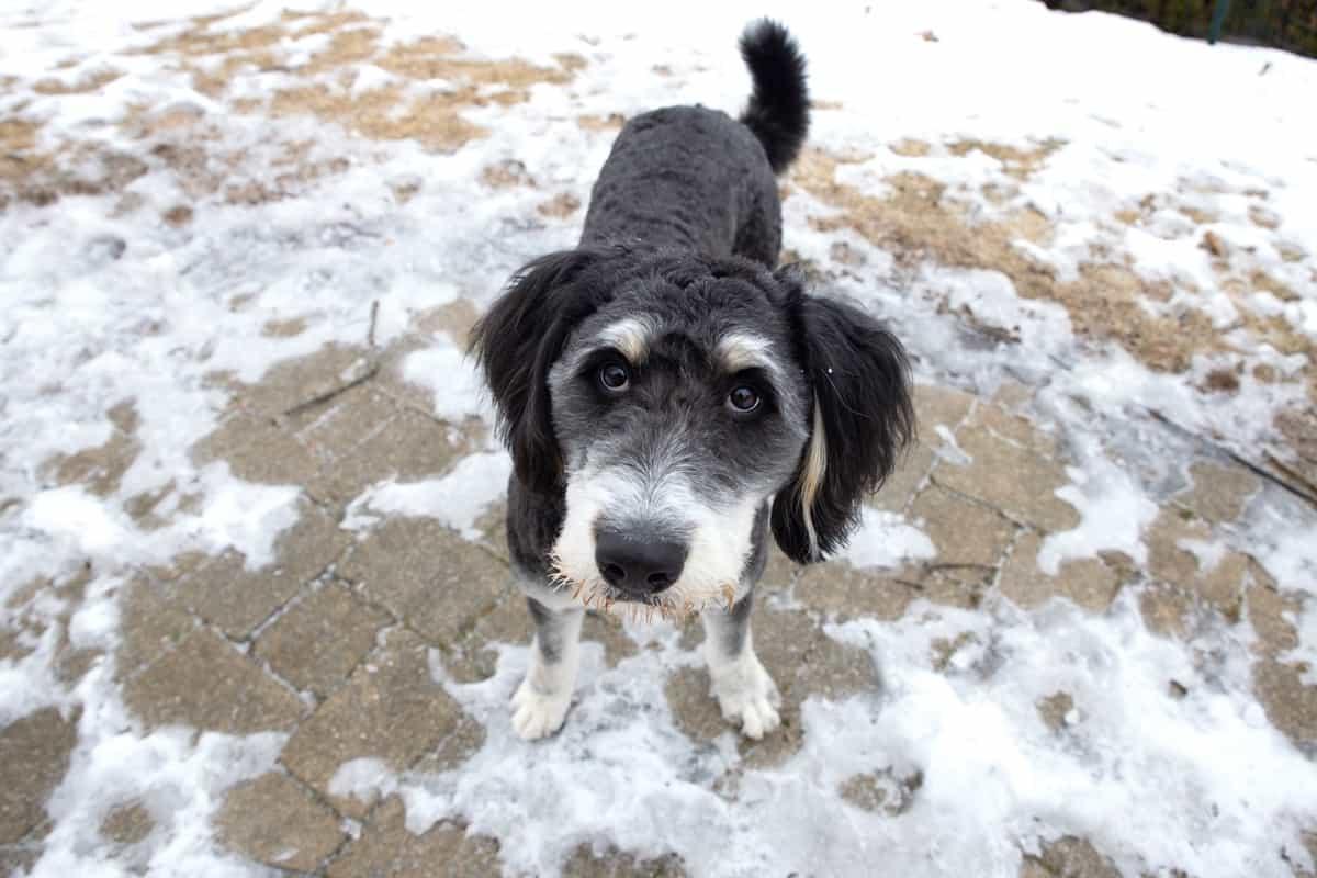 Best Bernedoodle rescues for adoption
