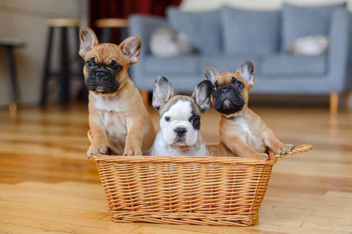 Best French Bulldog Breeders to Find Frenchie Puppies for Sale