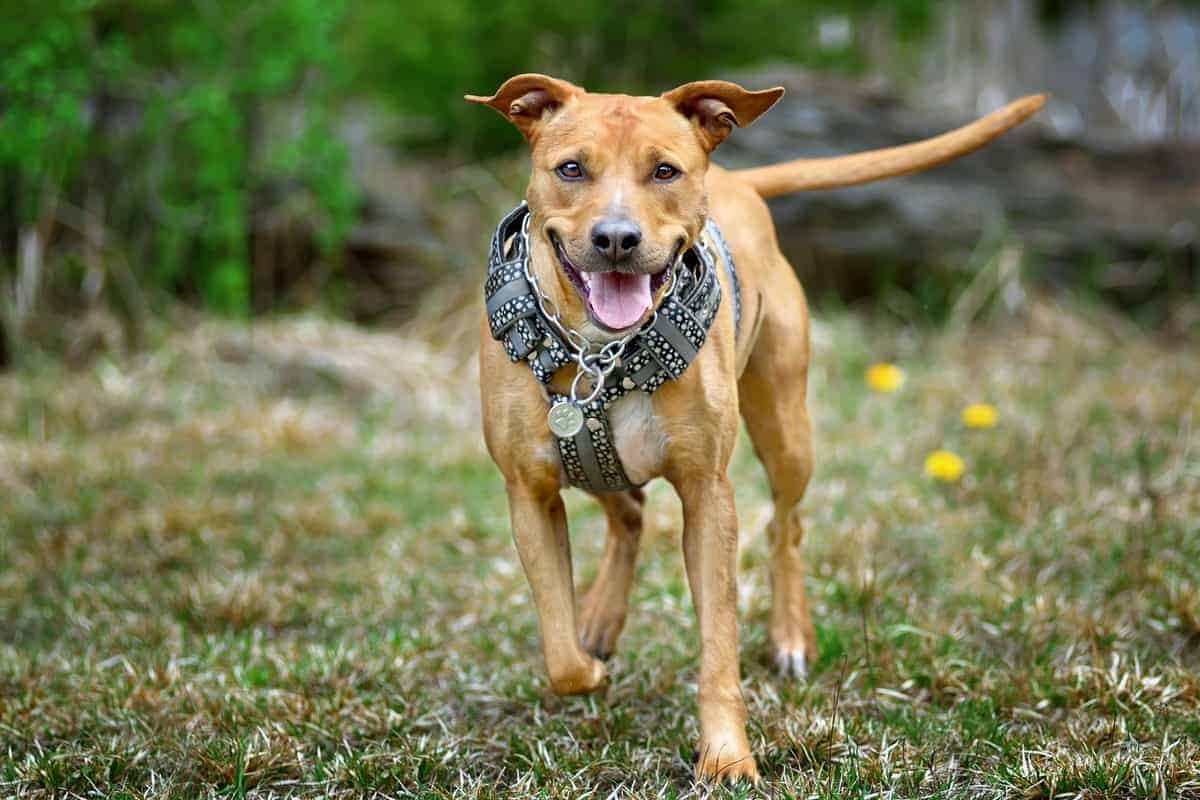 Best Pitbull Rescue for Adoption