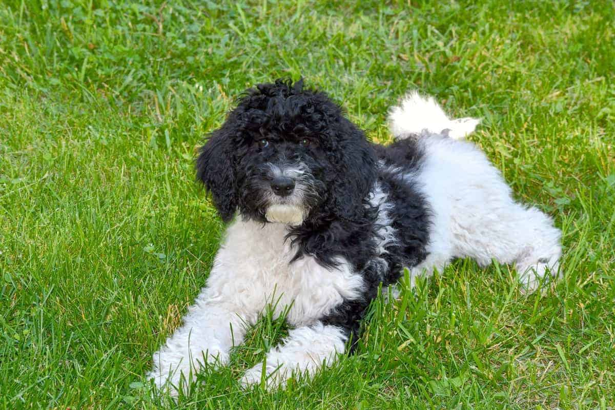 Black Parti Goldendoodle lying on the grass