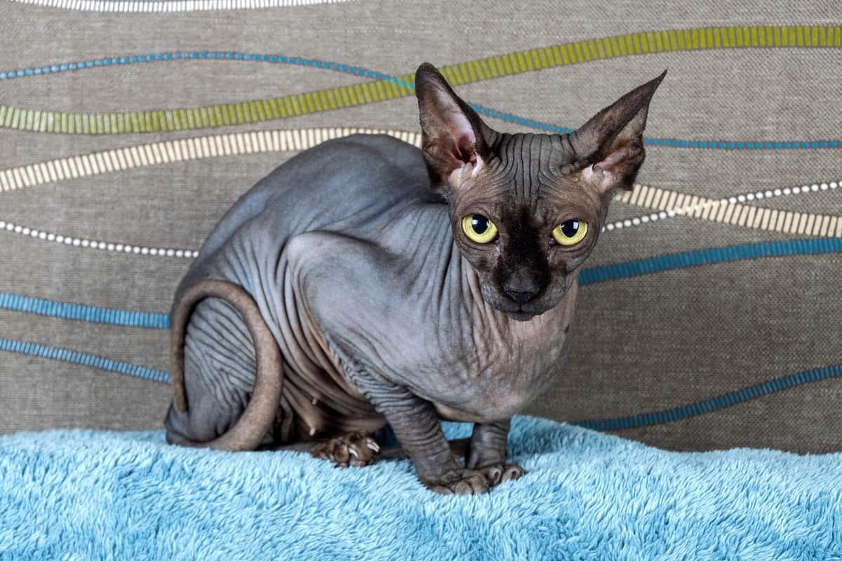 Black Sphynx cat hairless cat