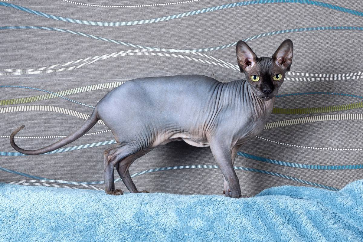 Black Sphynx cat with black colored body
