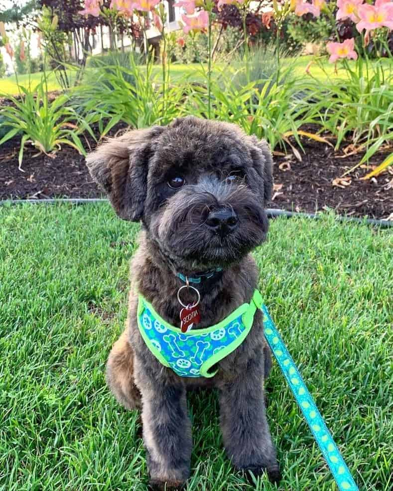 Black miniature Whoodle puppy