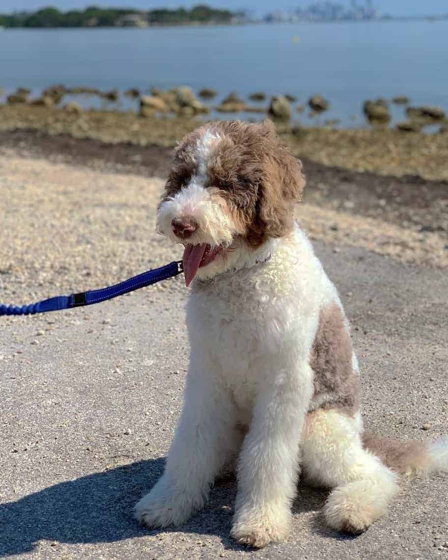 Chocolate (Brown) Parti Goldendoodle in the sun