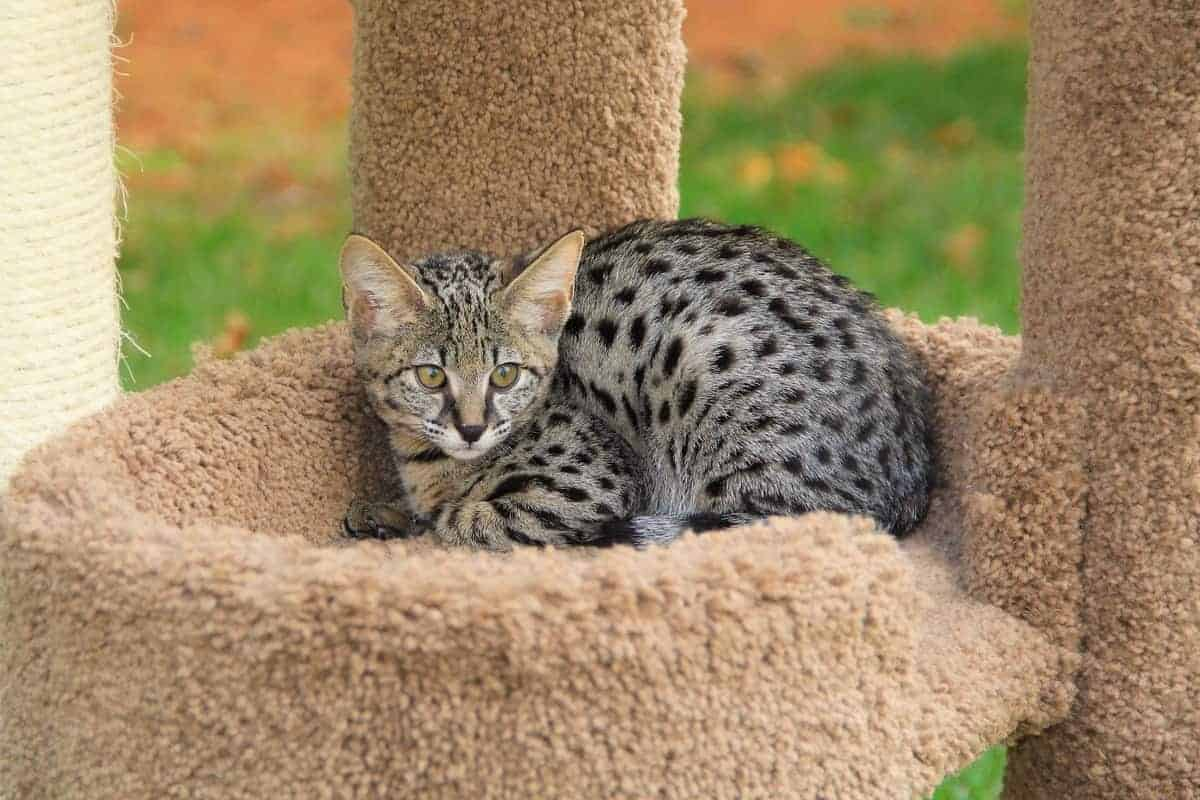 Cute F1 Savannah kitten for sale