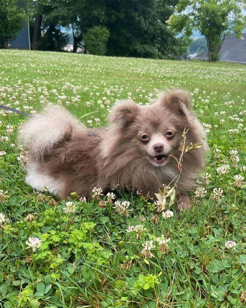 Cute lavender Pomeranian with flowers