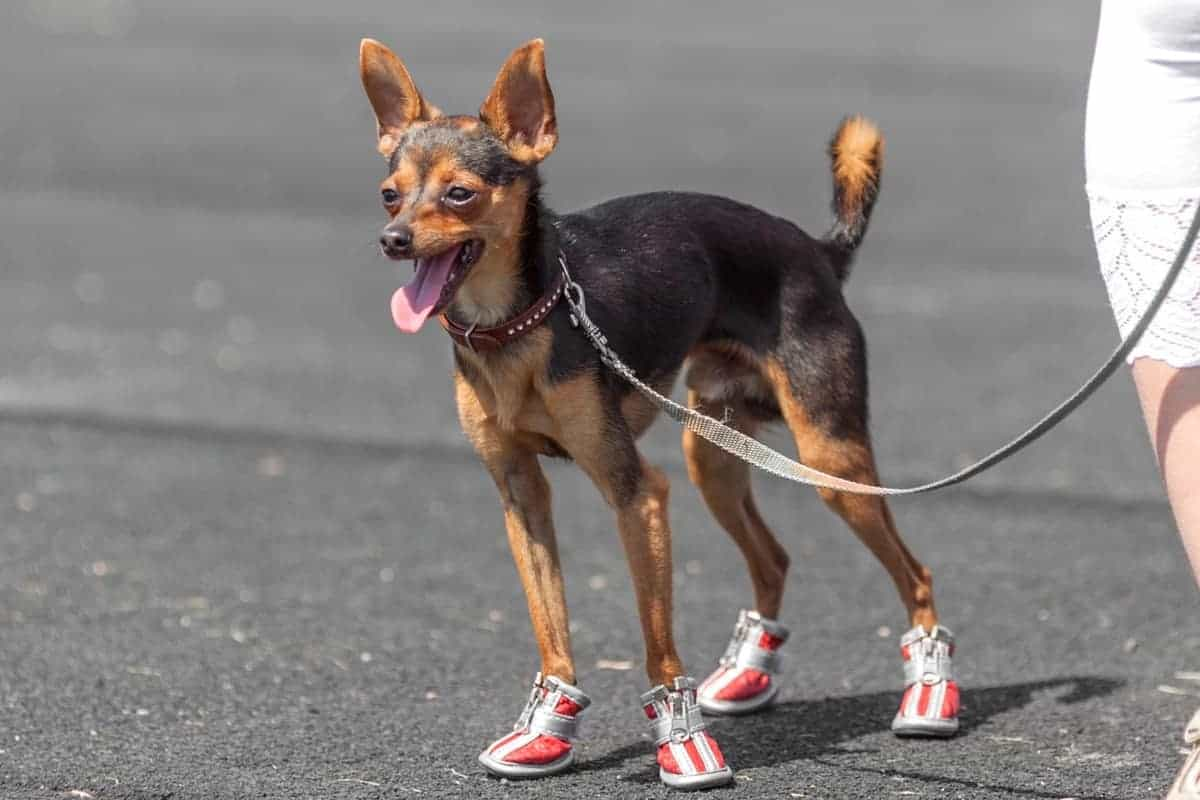 Deer legged Chihuahua or long legged Chihuahua with his owner