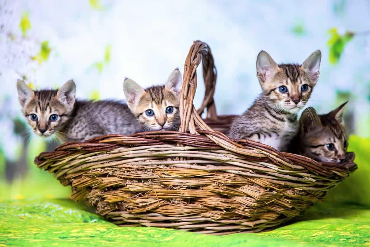 Four cute Savannah kittens for sale