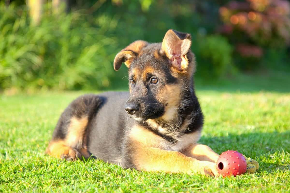 German Shepherd puppy in the sun