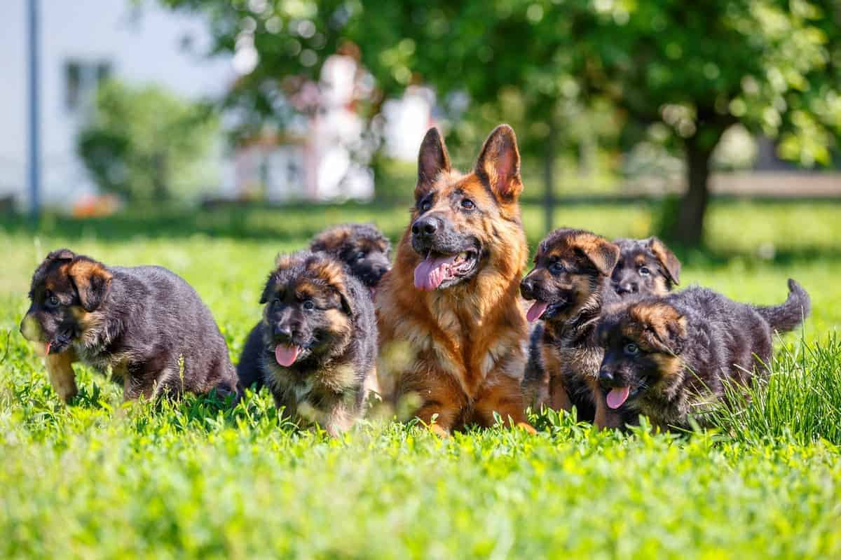 German Shepherd puppy price and expenses how much does a German Shepherd cost