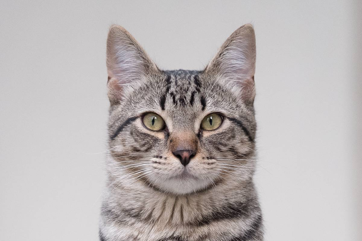 Gray tabby cat with M on its forehead