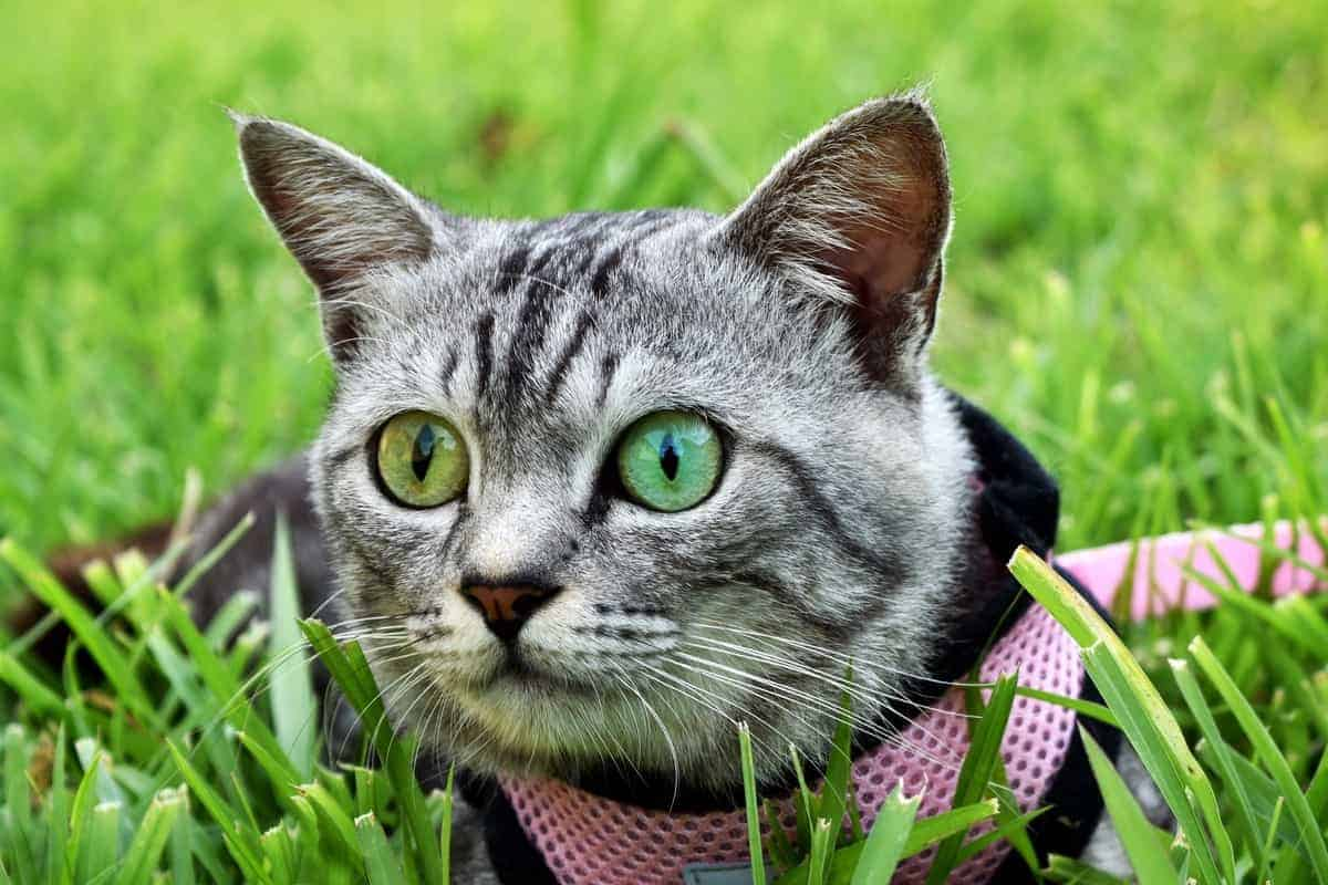 Grey American short hair cat with heterochromia eyes playing on the grass