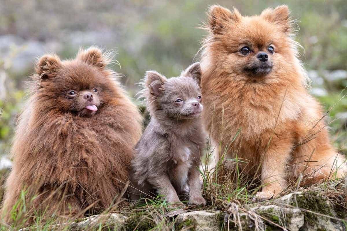 Lavender Pomeranian puppy with two other Poms
