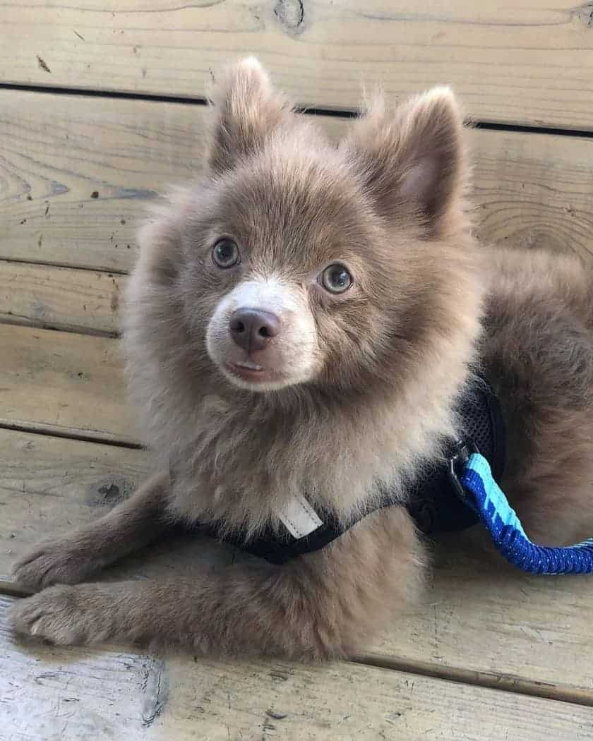 Lavender Pomeranian puppy