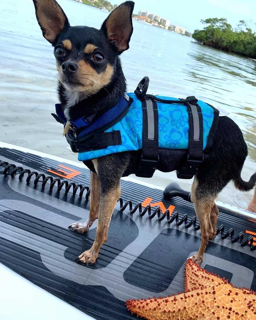 Long legged Chihuahua on a boat