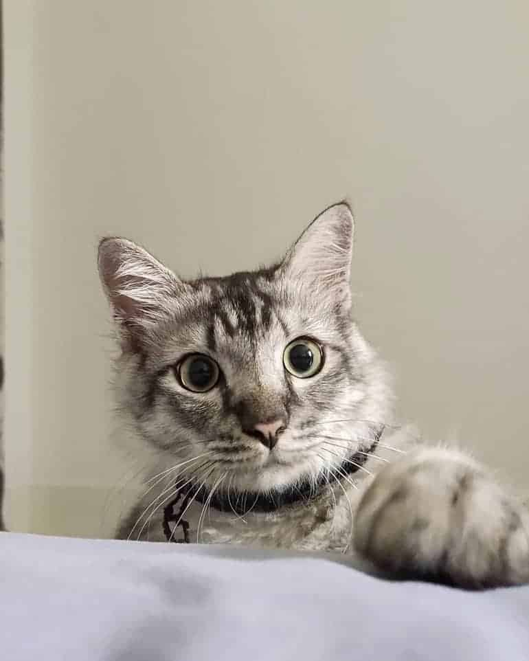 Maine Coon Persian grey tabby mix