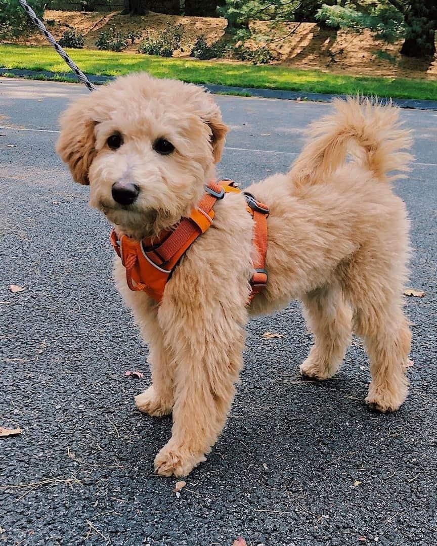 Mini Whoodle walking on leash