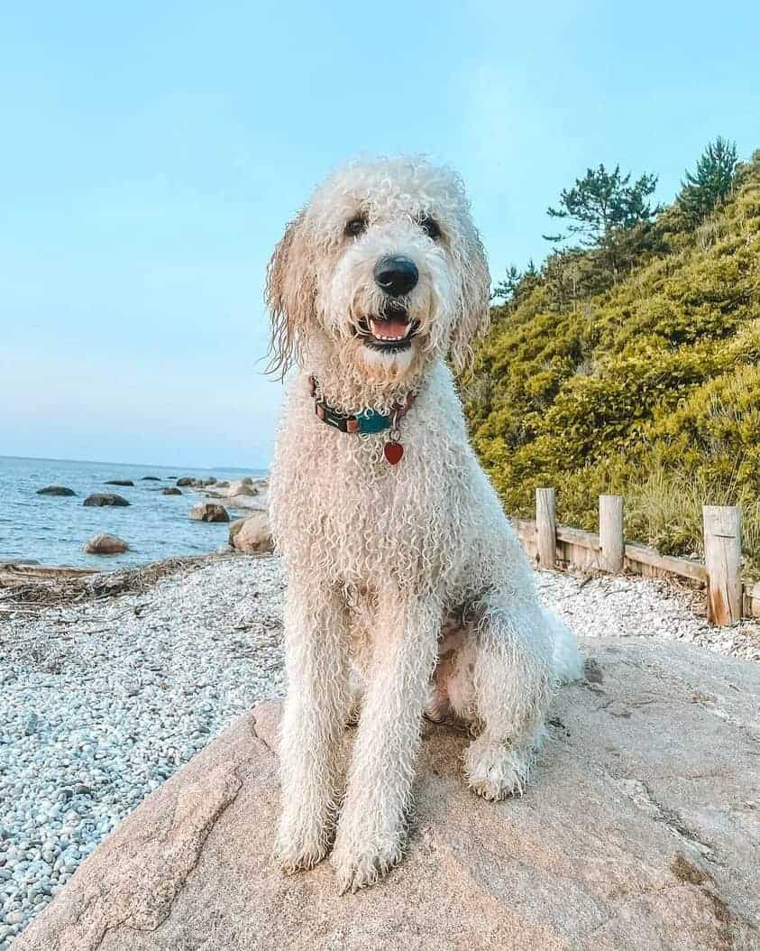 Parti Goldendoodle on the beach