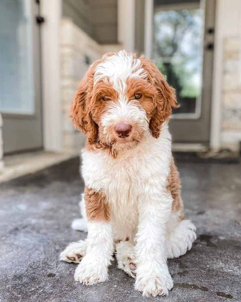 Red Parti Goldendoodle puppy outside the house