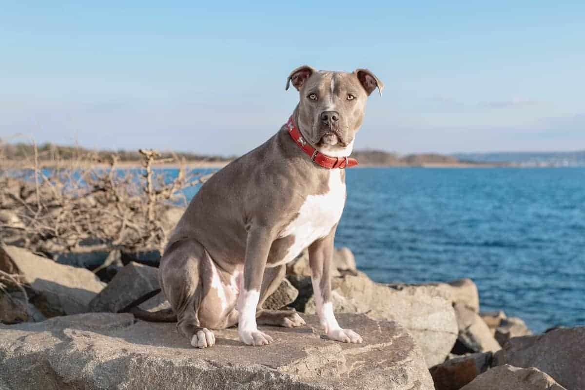 Pitbull rescue by the sea