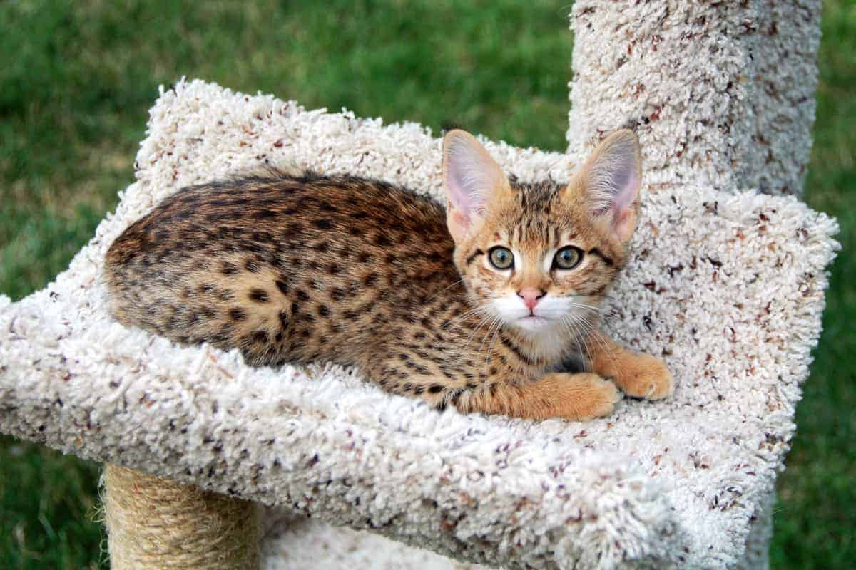 F1 Savannah cat on a cat tree outside 1