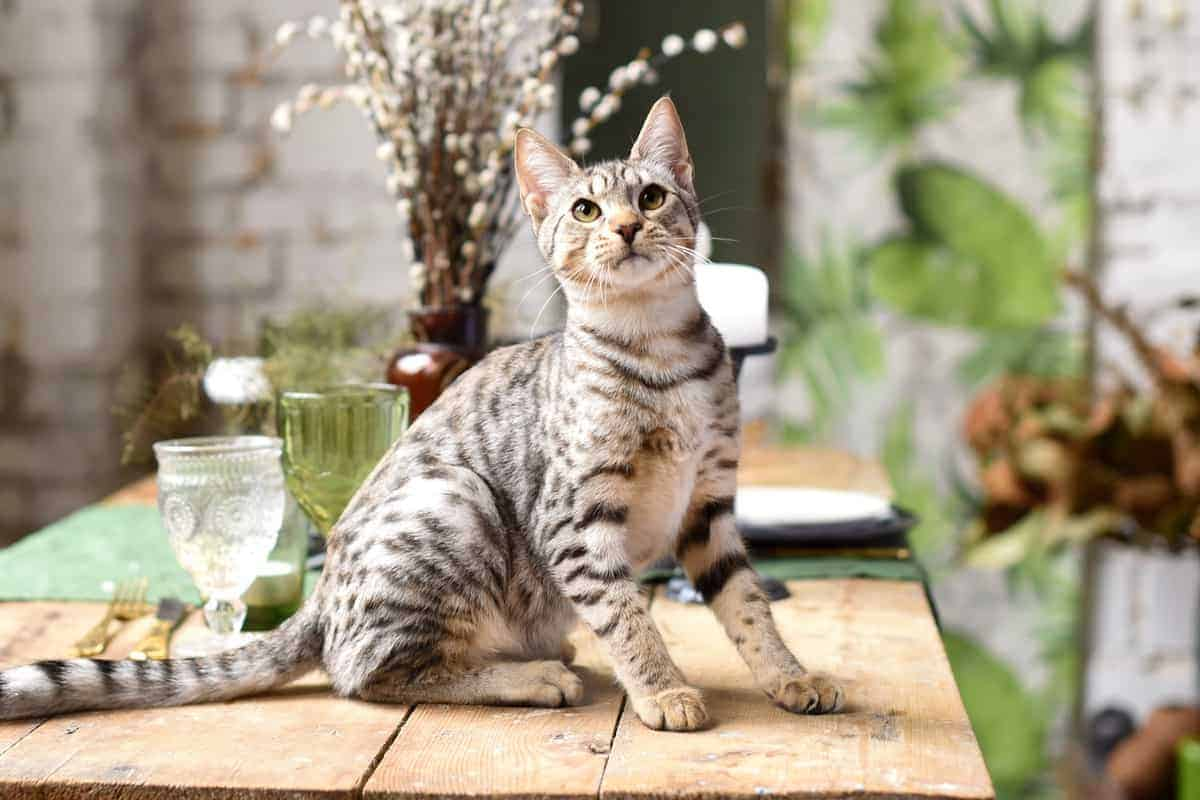 Savannah cat price and expenses how much does a Savannah kitten cost