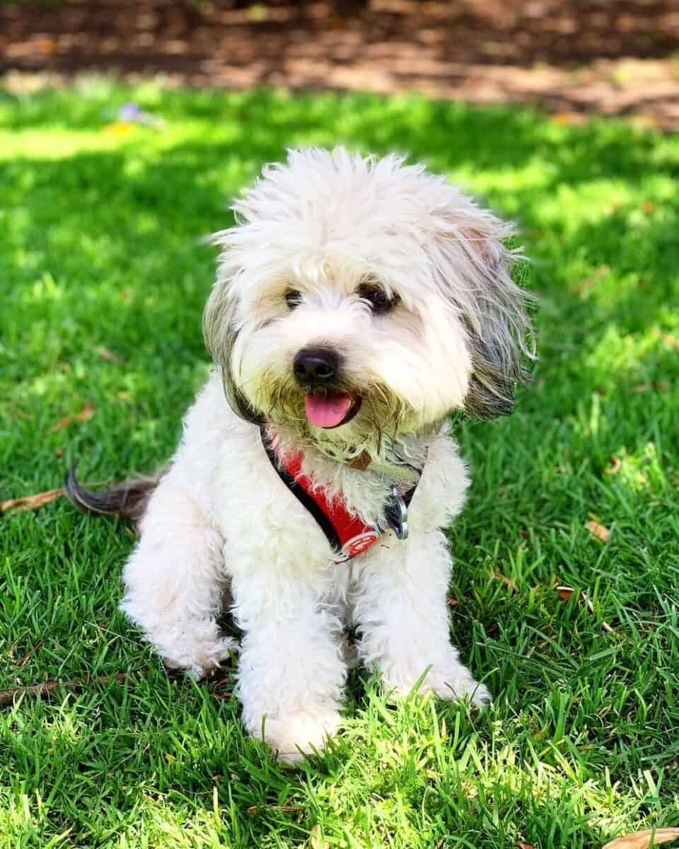 Small mini Whoodle puppy on the grass