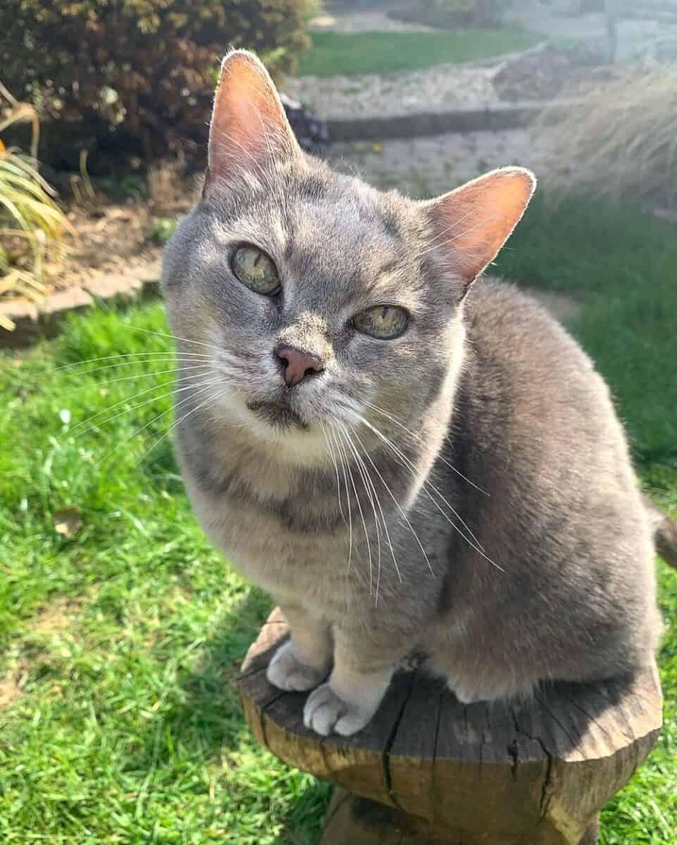 Ticked grey tabby cat
