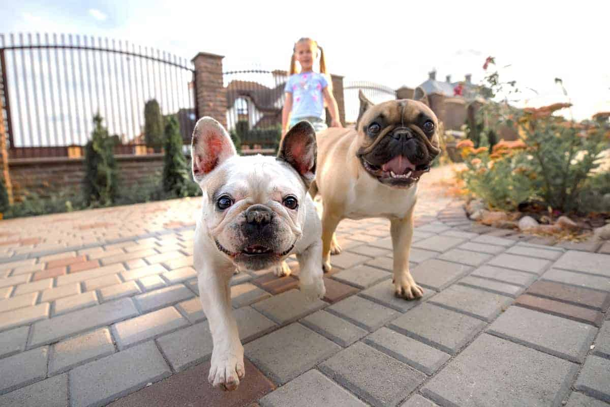 Two French Bulldog puppies for sale
