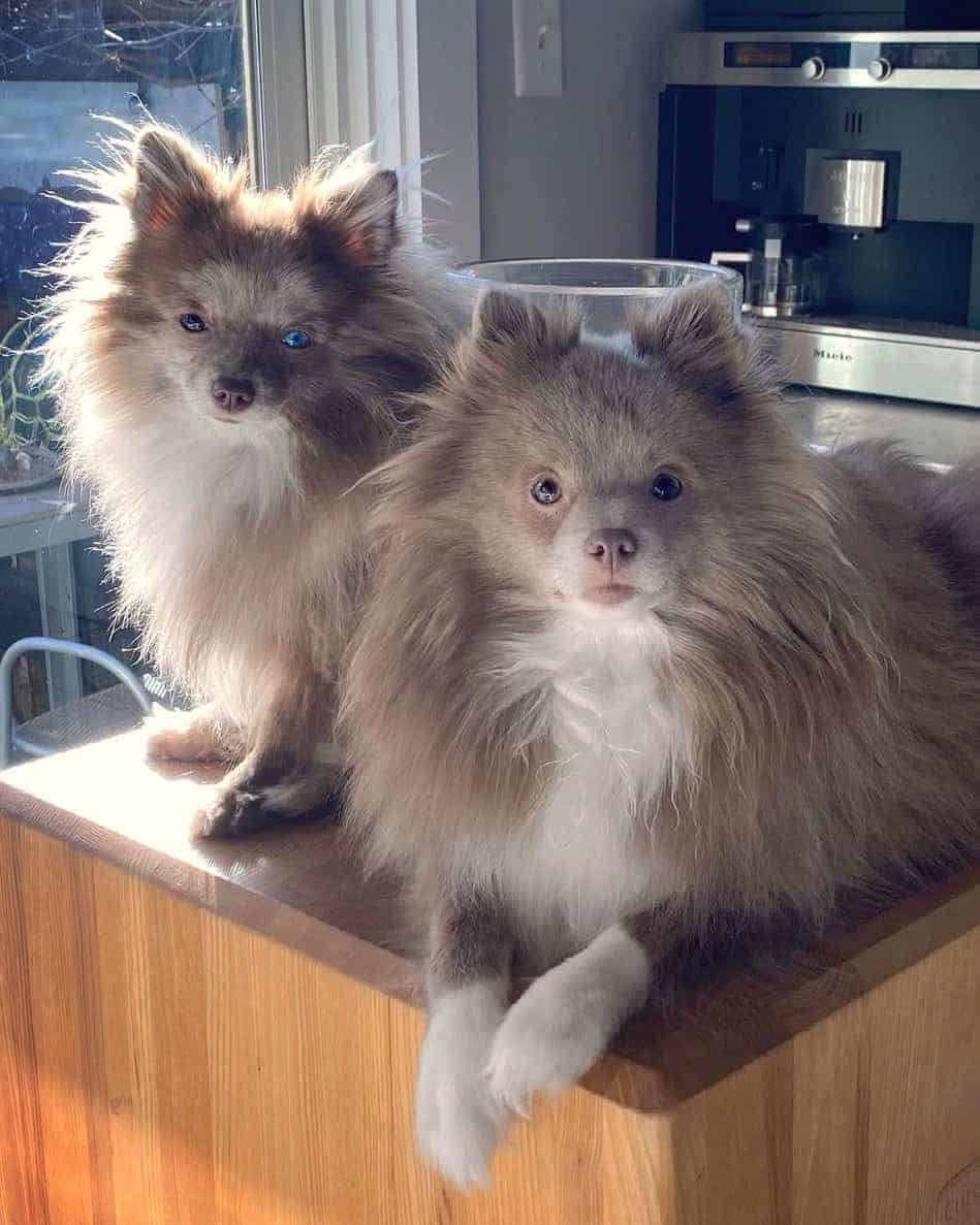 Two lavender Pomeranians in the kitchen