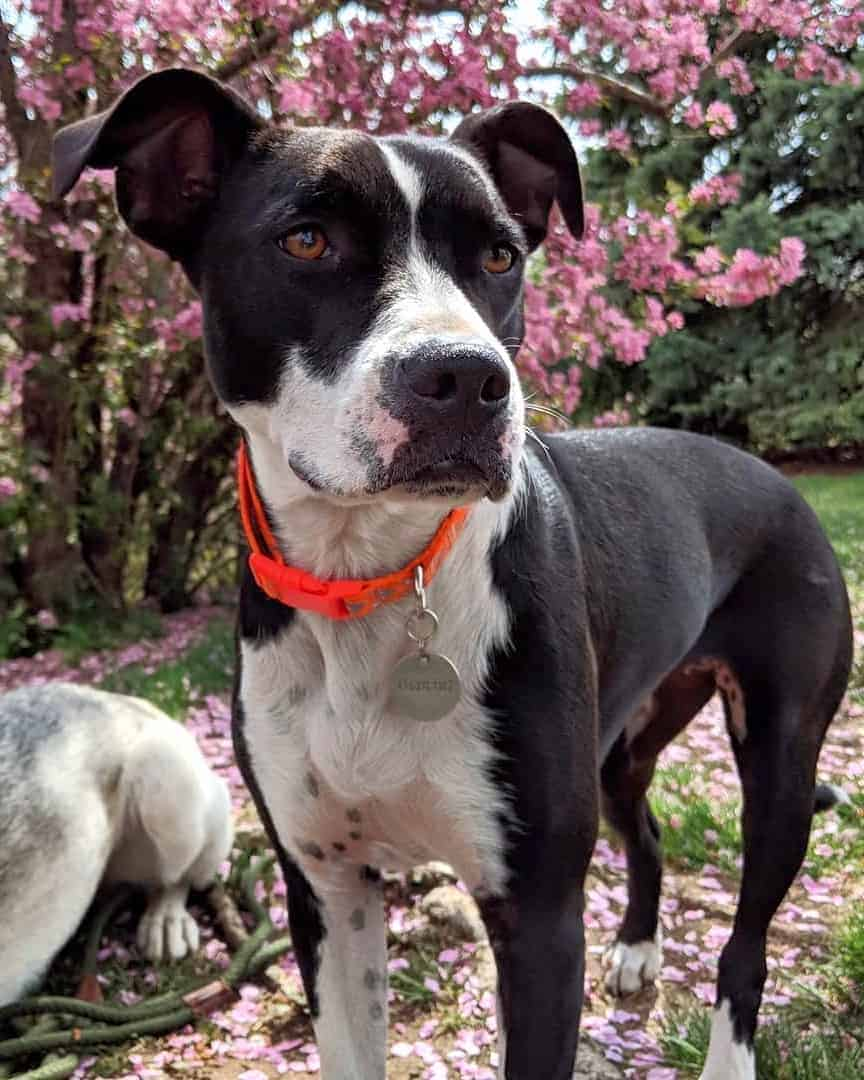 Black and white Boston Pit with beautiful flowers