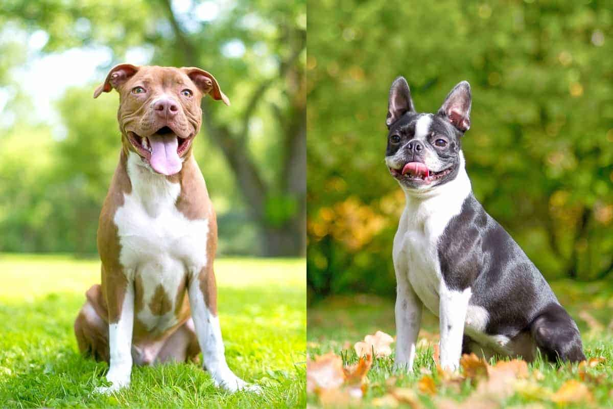 Boston Pit Boston Terrier Pitbull mix info pictures and facts