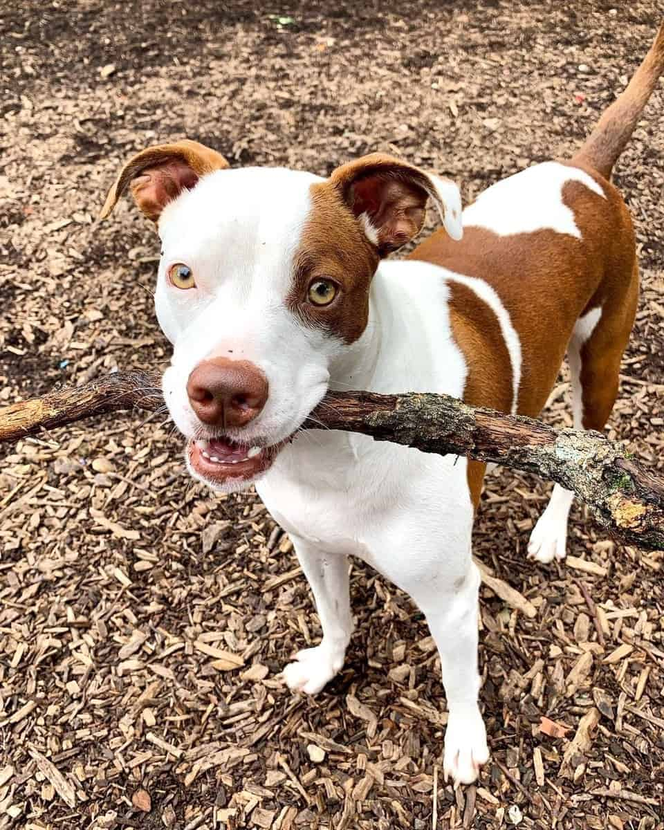 Boston Pit Pitbull Boston Terrier mix puppy biting a wooden branch