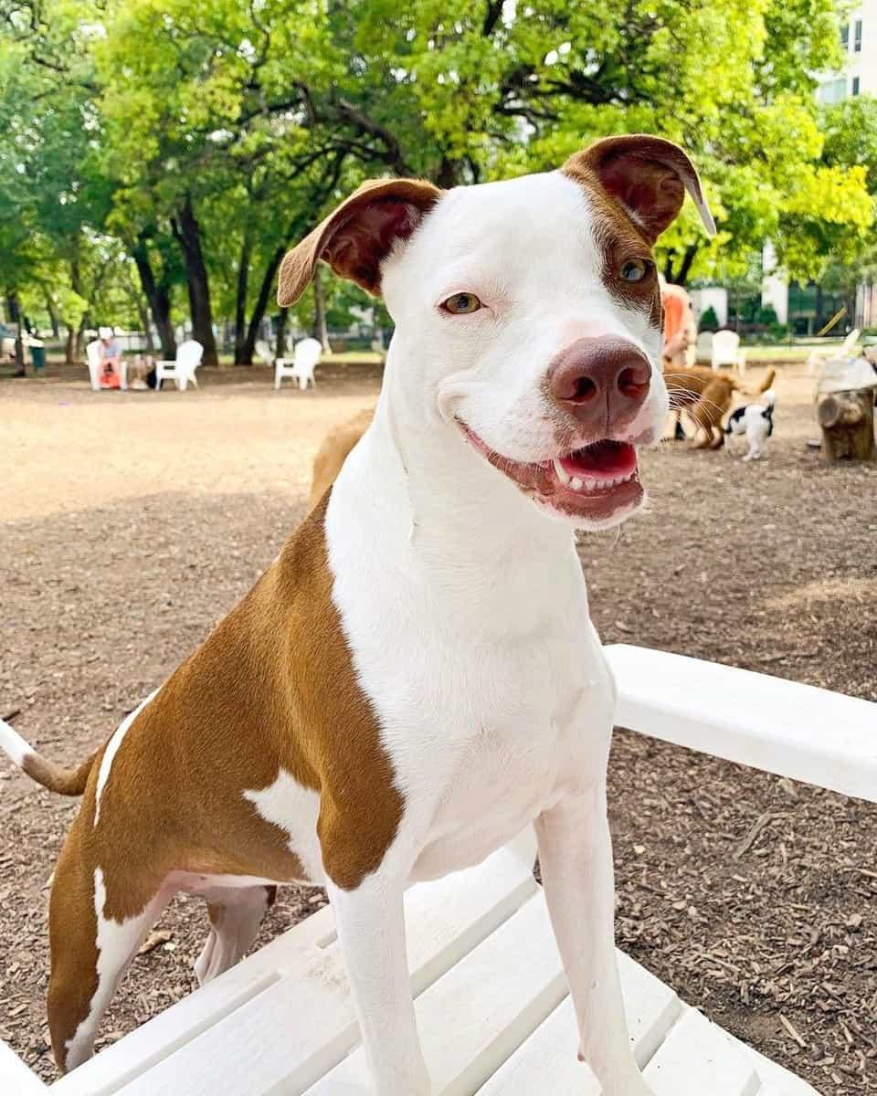 Boston Terrier Pitbull mix standing on a white chair