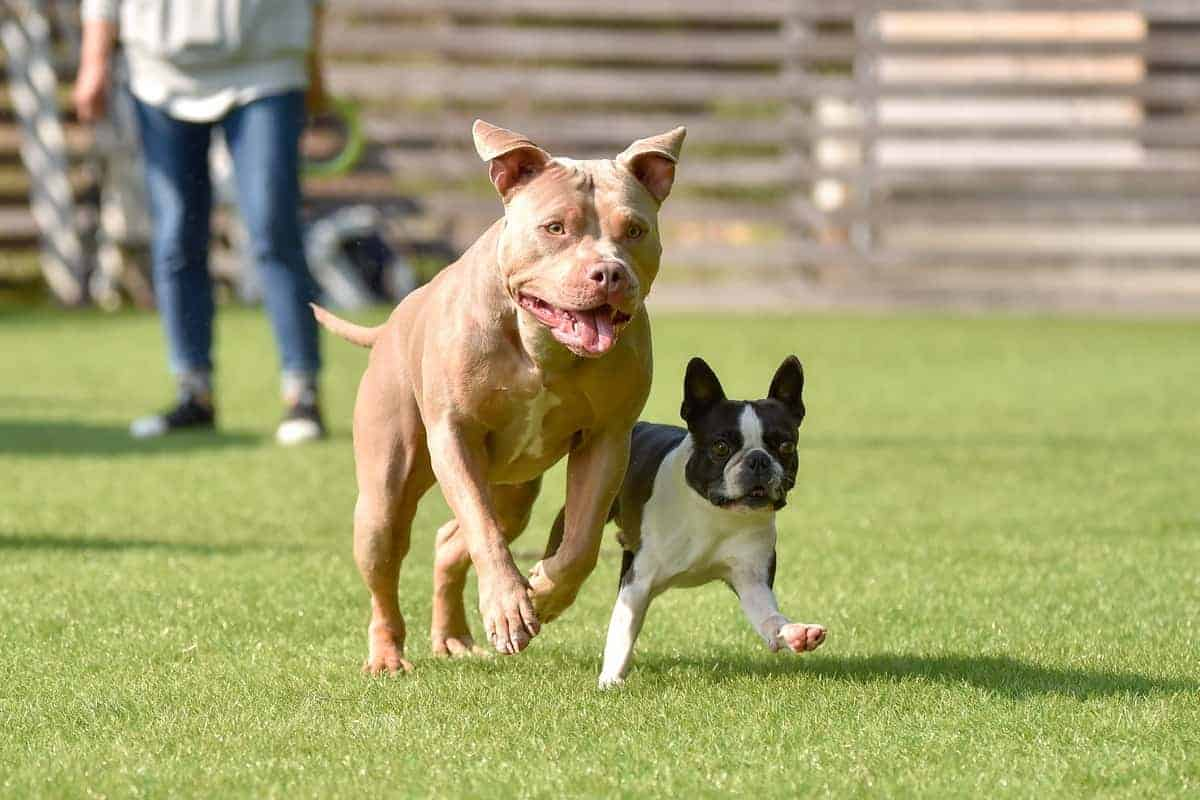 Boston Terrier and Pitbull playing dog run